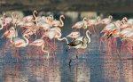 solenoe-ozero-larnaka-flamingo.jpg